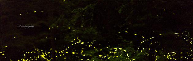 宾州留守记 之 观赏同步萤火虫攻略