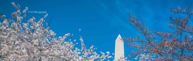 樱花季 – 华盛顿特区赏樱指南